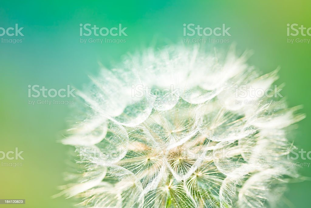 Close-up of dandelion flower in the field stock photo