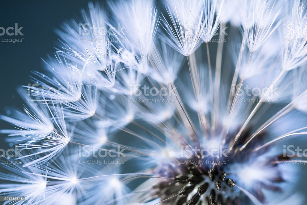 Closeup of dandelion royalty-free stock photo