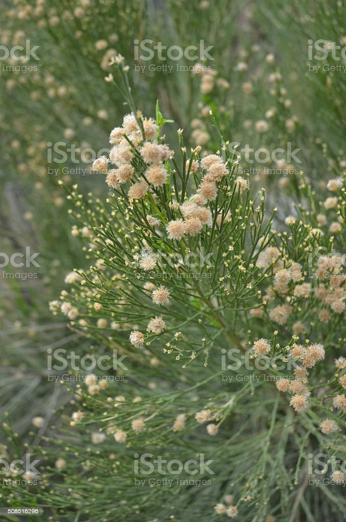 Close-up of Desert Broom Flowers stock photo