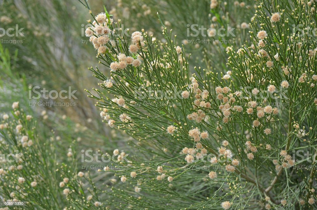 Close-up of Desert Broom Flowers royalty-free stock photo