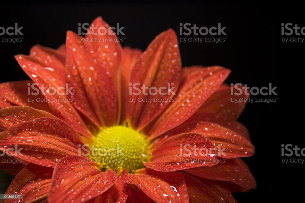 Closeup of Dewy, Red Chrysanthemum stock photo