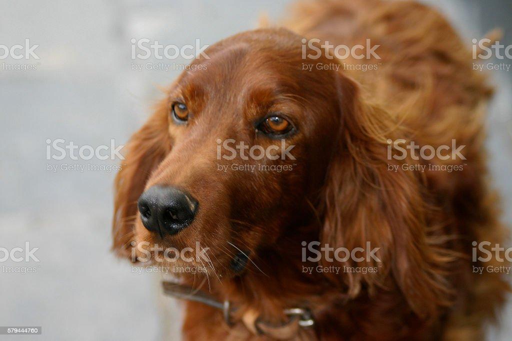Close-up of Dog, Irish Setter stock photo
