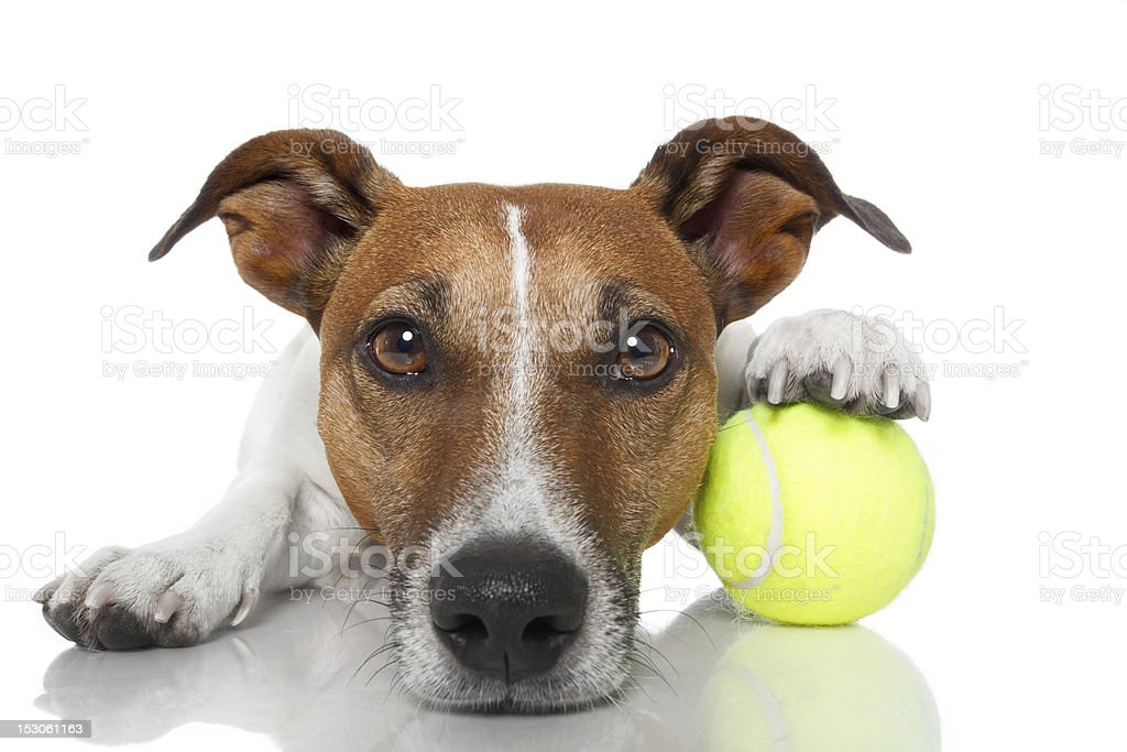 Close-up of dog's face with it holding a ball under his paw stock photo