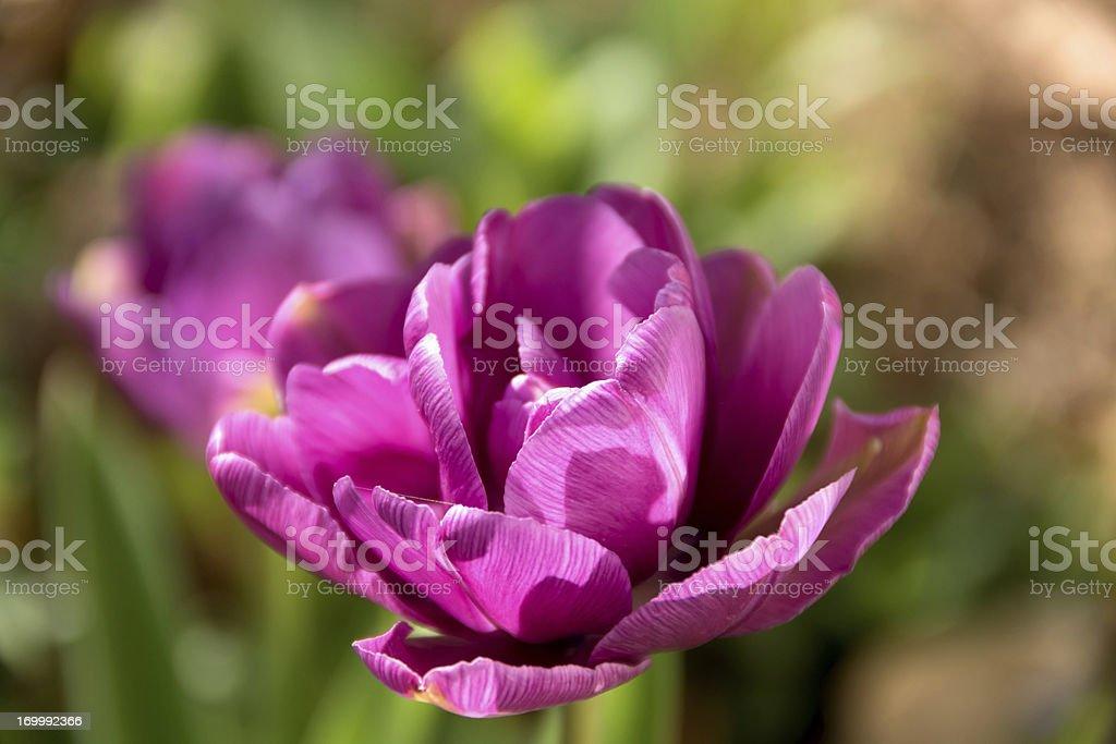 Closeup of double purple tulip in garden. stock photo