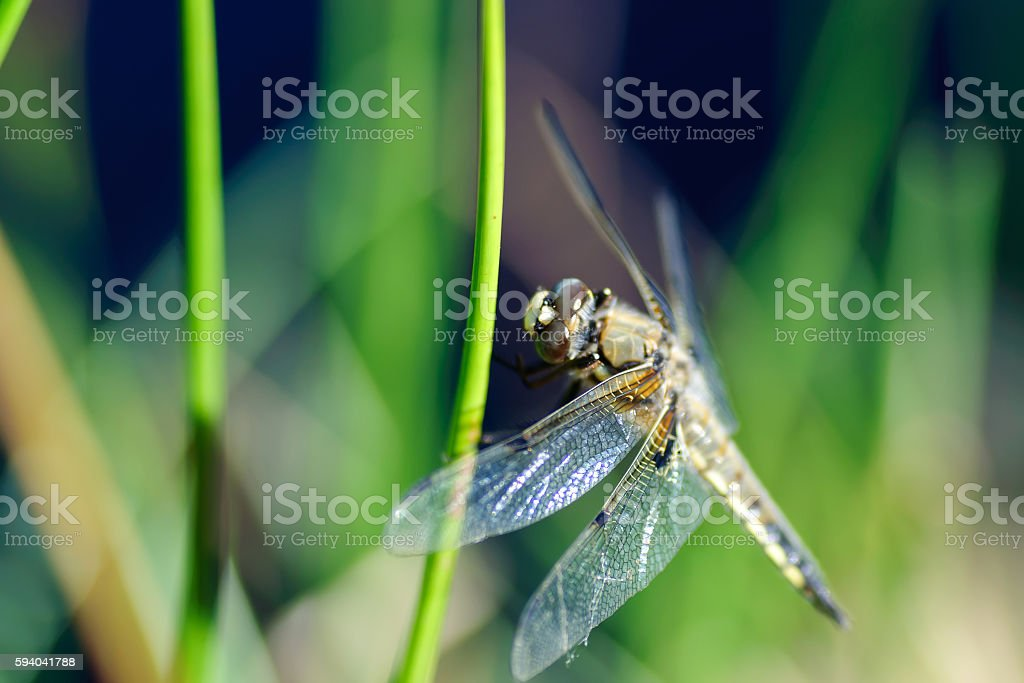 closeup of dragonfly on green grass stock photo