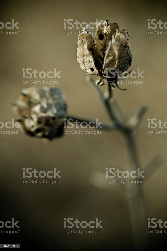 Close-up of Dried Plant Flowers royalty-free stock photo