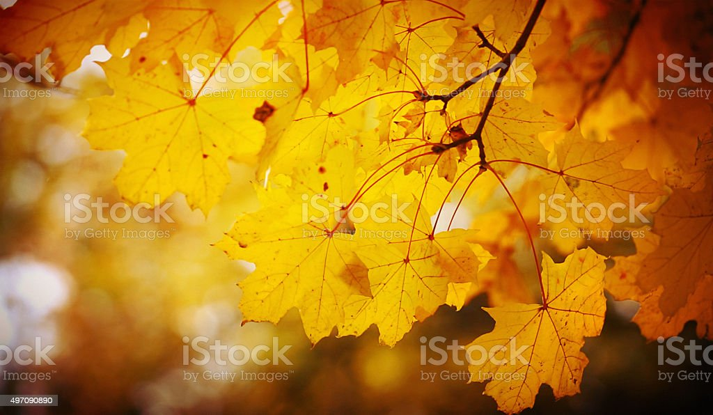Closeup of dry maple leaves at fall time. stock photo