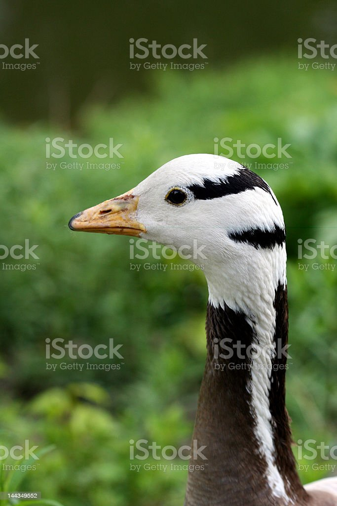 close-up de pato em Prado foto de stock royalty-free