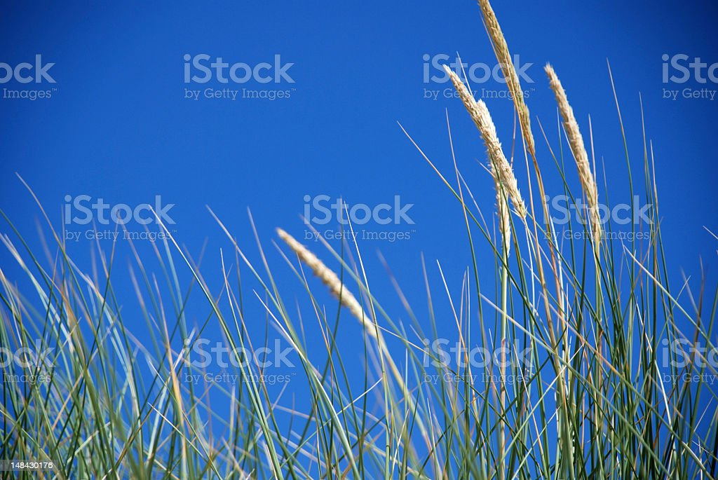 Closeup of dune grass royalty-free stock photo