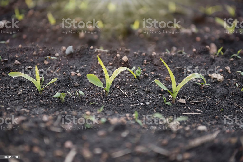 Closeup of early corn sprouts and sunbeam stock photo