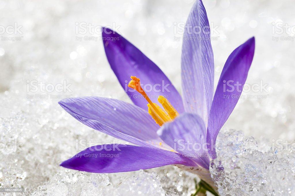 Closeup of Early Spring Crocus in Thawing Snow and Ice stock photo