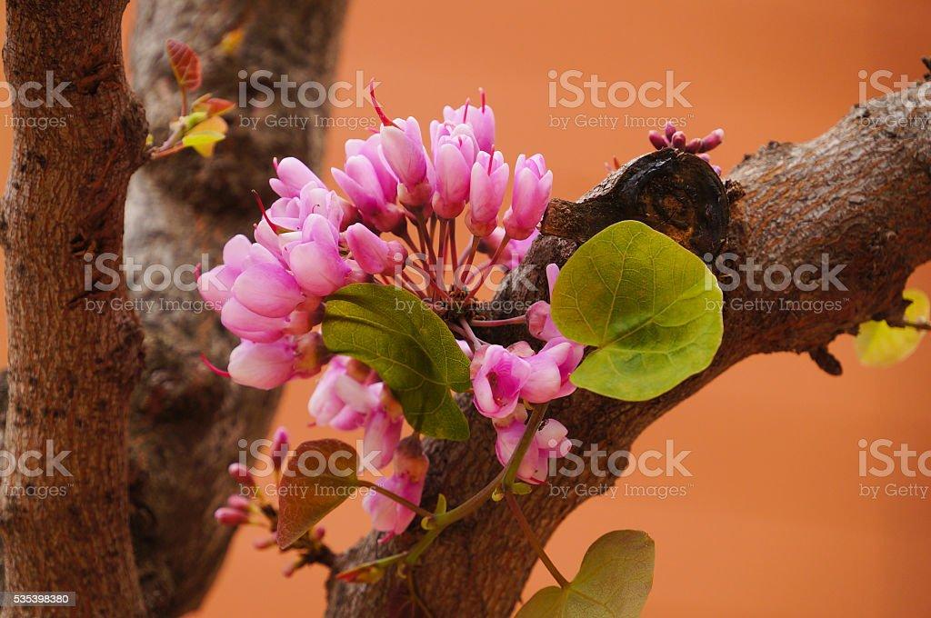 Closeup of Eastern Redbud tree in spring,Greece. stock photo