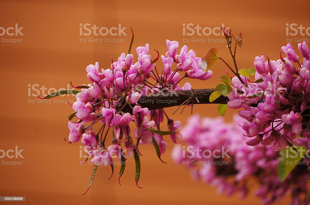 Closeup of Eastern Redbud tree's tiny blooms in spring stock photo