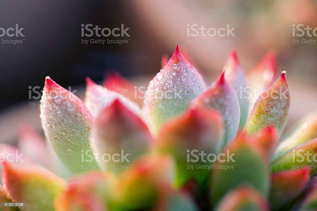 Close-up of Echeveria Succulent plant stock photo