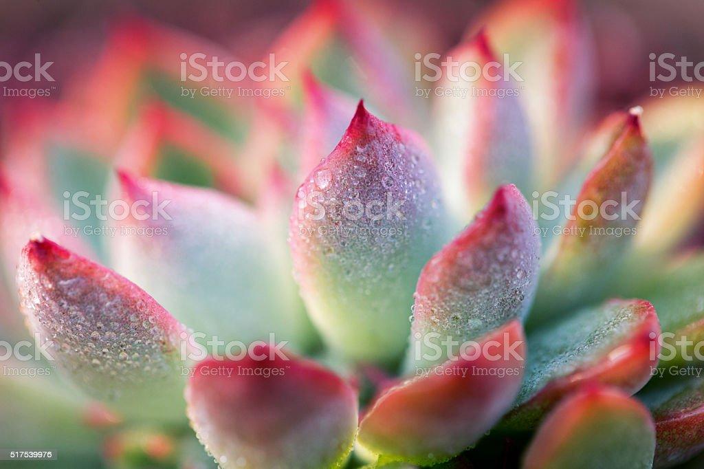 Close-up of Echeveria Succulent plant stock photo