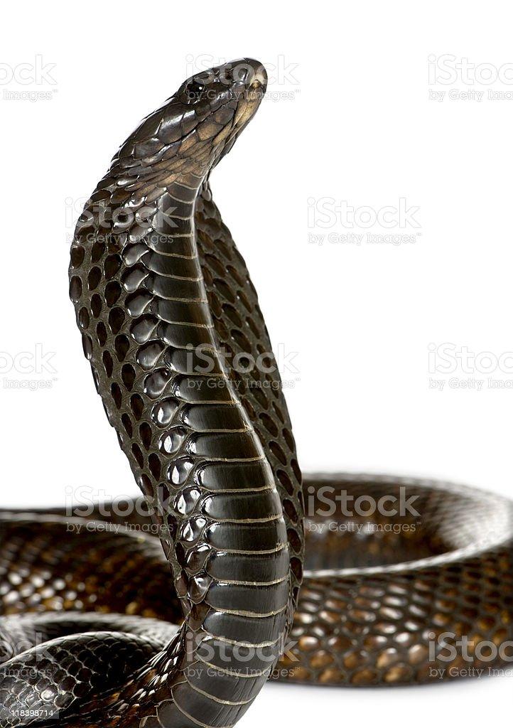 Close-up of Egyptian cobra, against white background stock photo