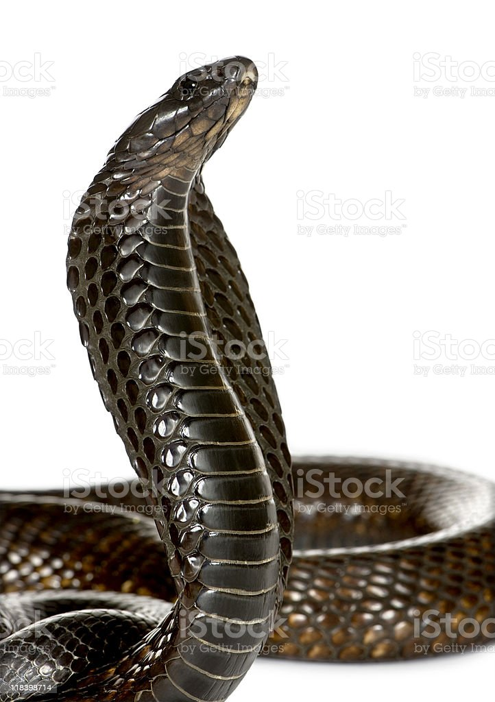 Close-up of Egyptian cobra, against white background stock photo