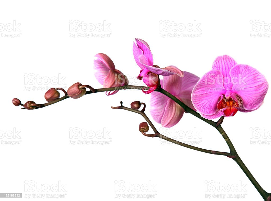 Close-up of elegant pink orchid twig stock photo