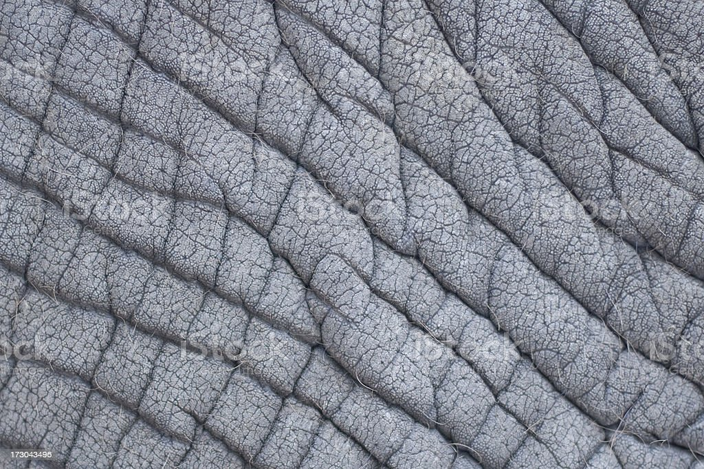 Close-up of Elephant Skin royalty-free stock photo