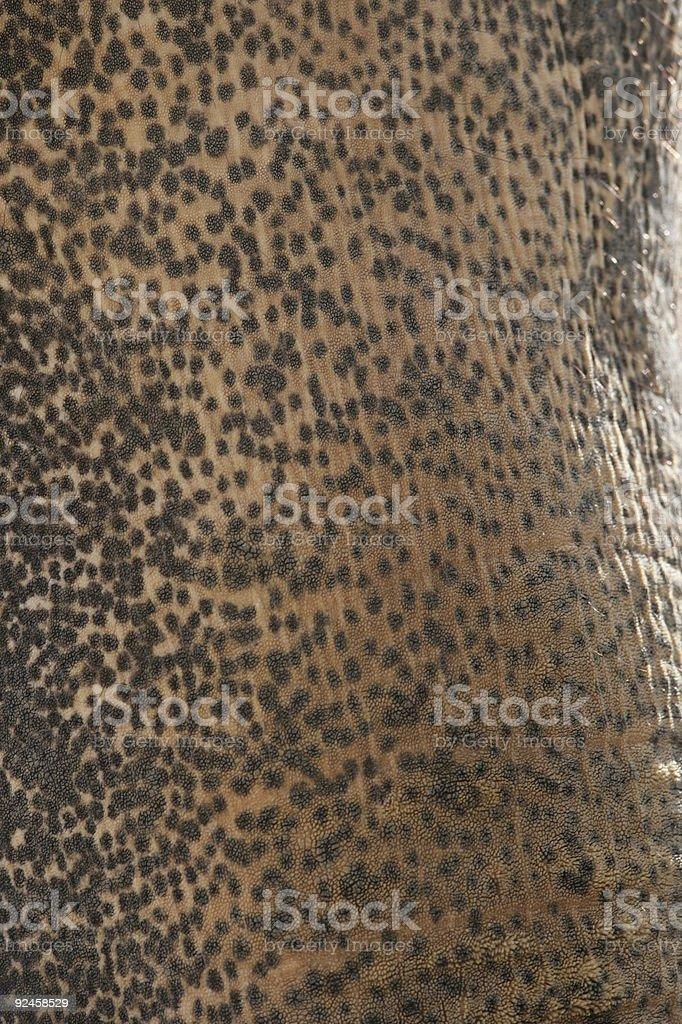 Closeup of elephant trunk royalty-free stock photo