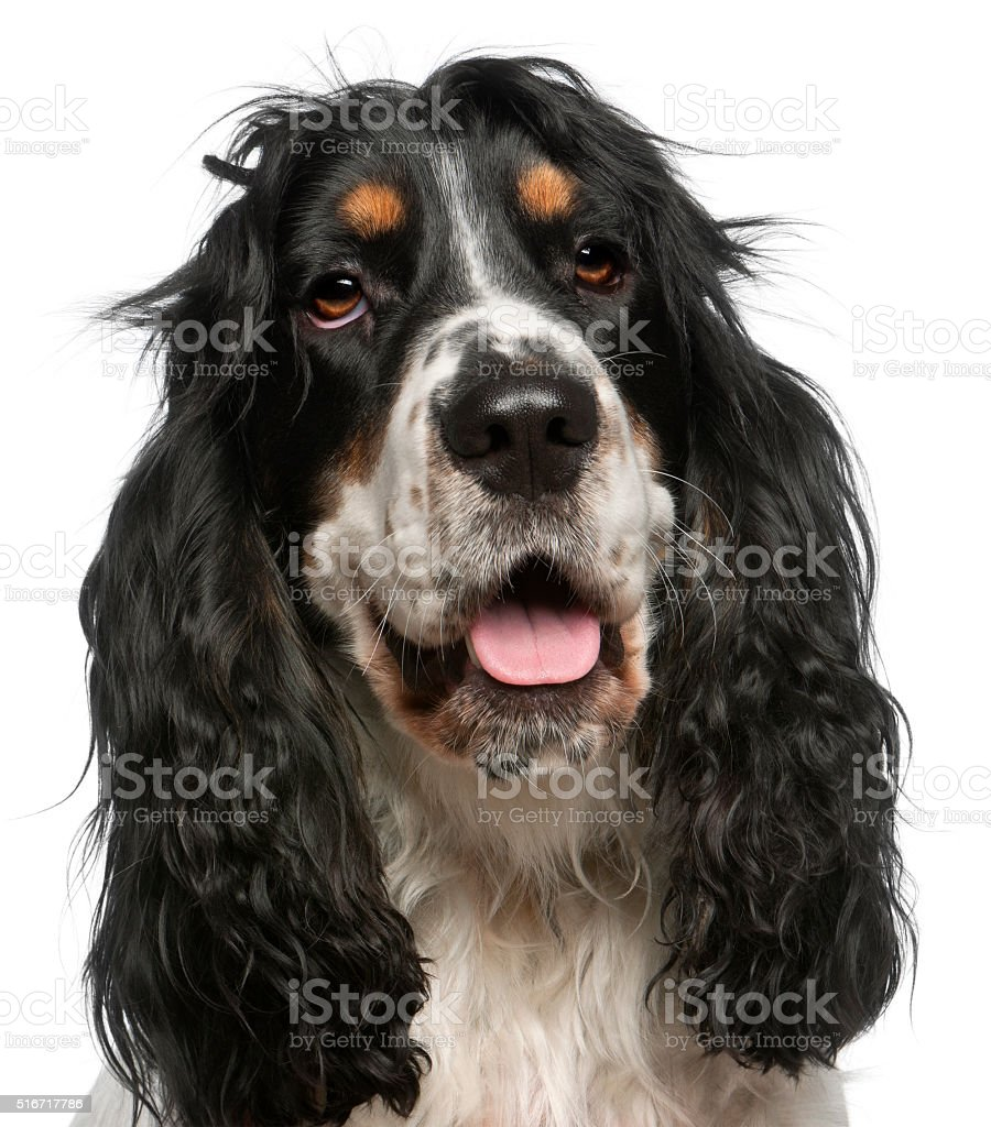 Close-up of English Cocker Spaniel, 6 years old, stock photo