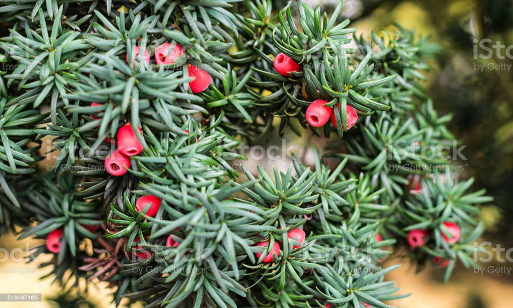Closeup of European Yew stock photo