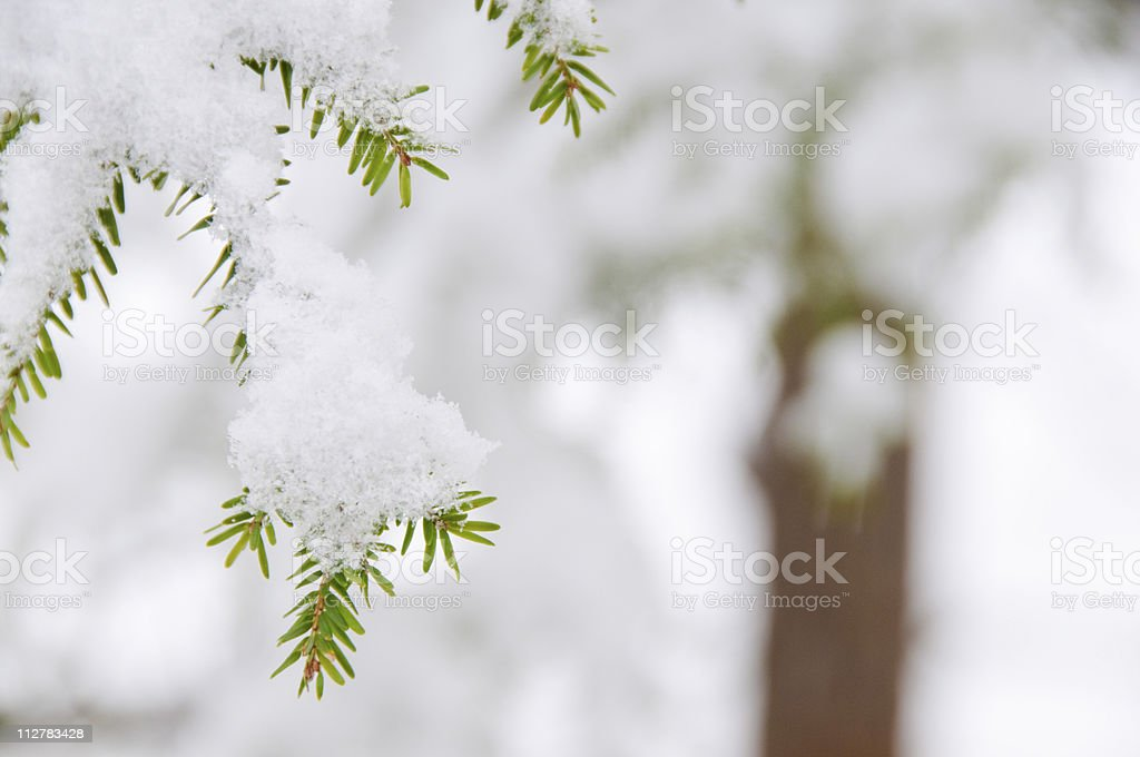 Close-up of evergreen leaves in snow royalty-free stock photo