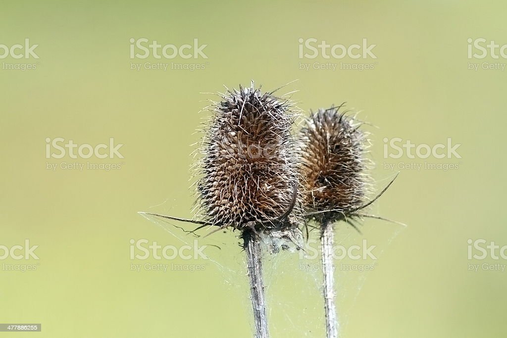 closeup of faded thistle royalty-free stock photo