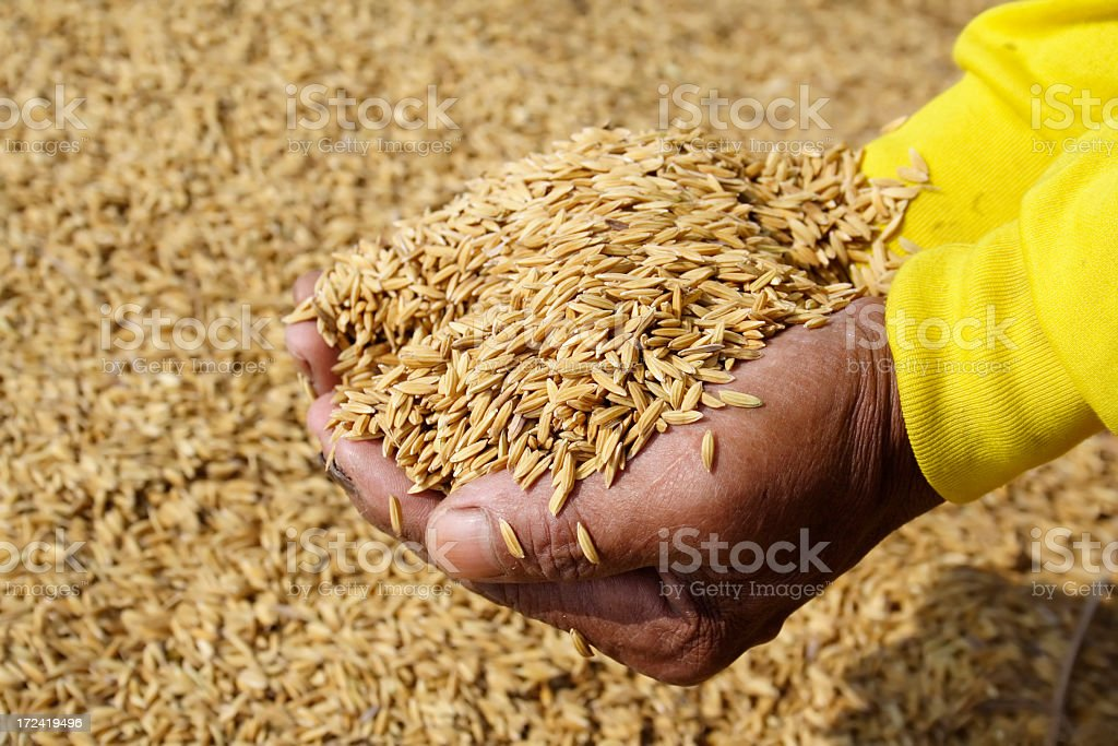 Close-up of farmer's hand holding paddy stock photo
