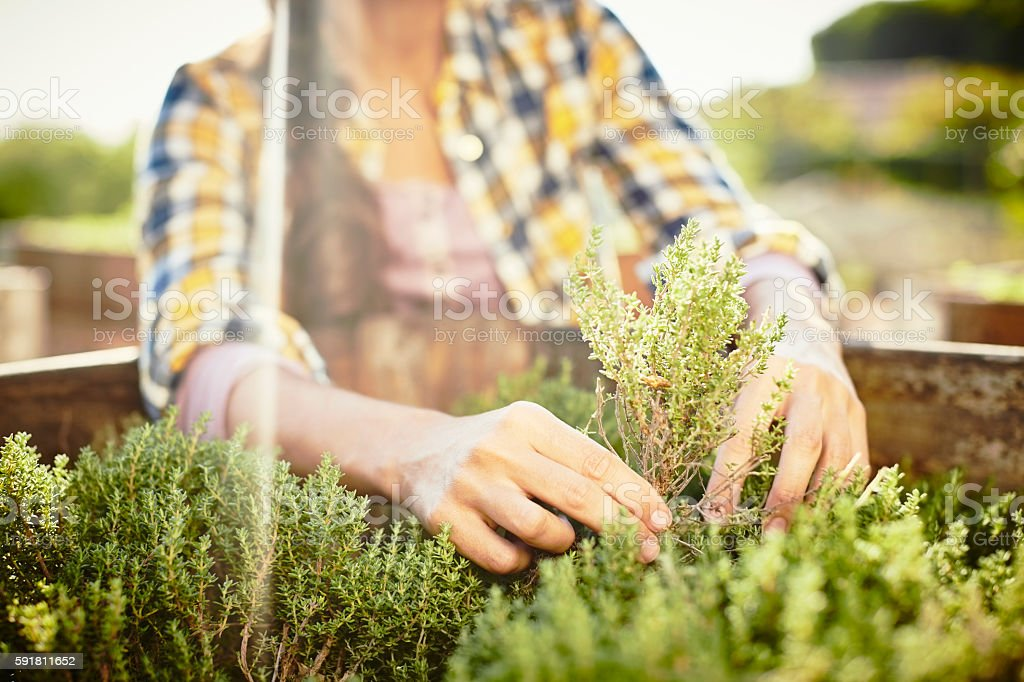 Close-up of female planting herbs in crate stock photo