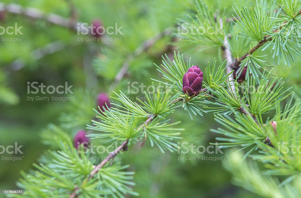 Close-up of fir tree branches with cones and needles royalty-free stock photo
