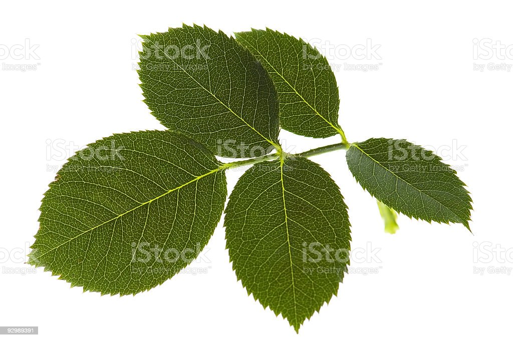 Close-up of five rose leaves on a stem stock photo