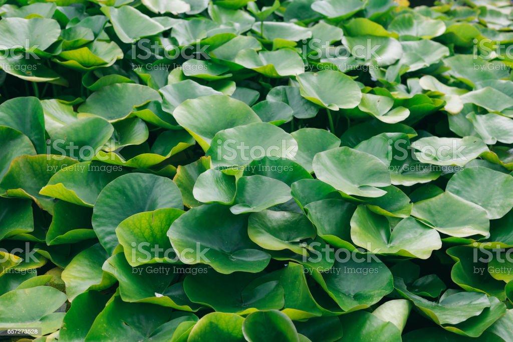 Closeup of flourish growing lotus leaves in the lake stock photo