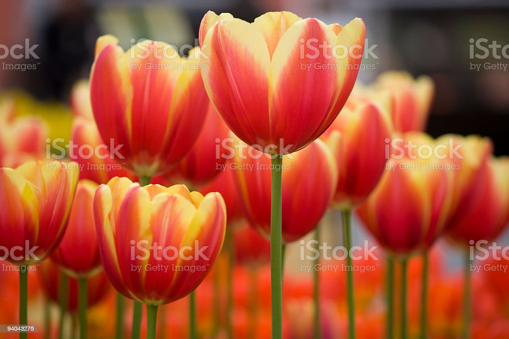 Close-Up of flower bed with variegated red Tulips in Garden stock photo
