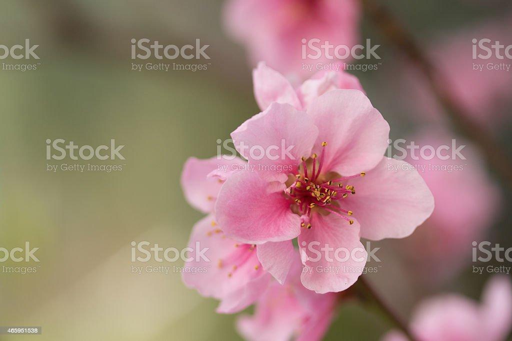 Closeup of flower nectarines stock photo