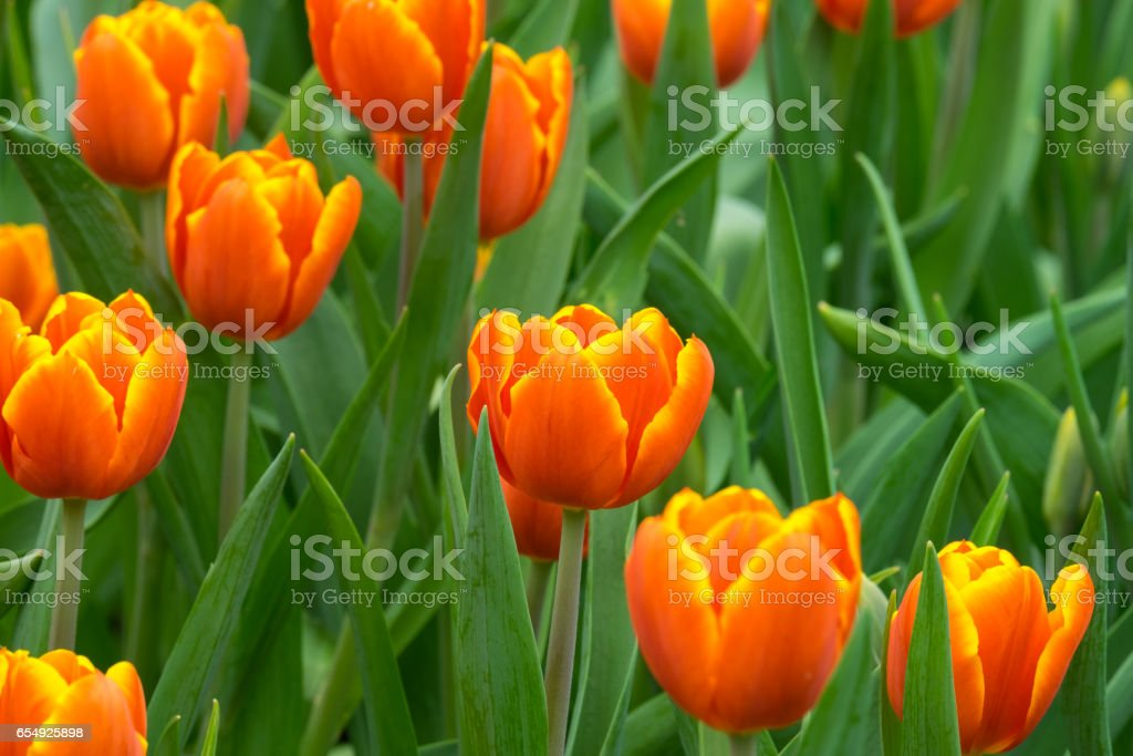 Close-Up Of Flowerbed With Orange Tulips stock photo