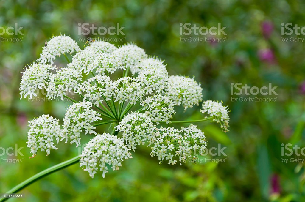 Closeup of flowering Common Hogweed stock photo