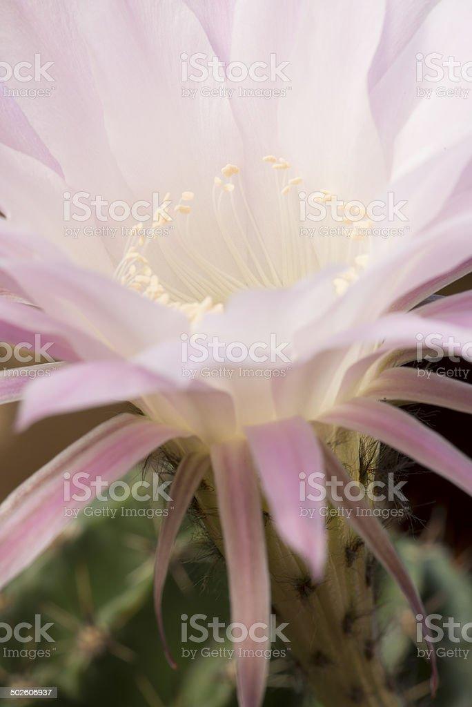 Close-up of Flowering Echinopsis Spachiana Kaktus royalty-free stock photo