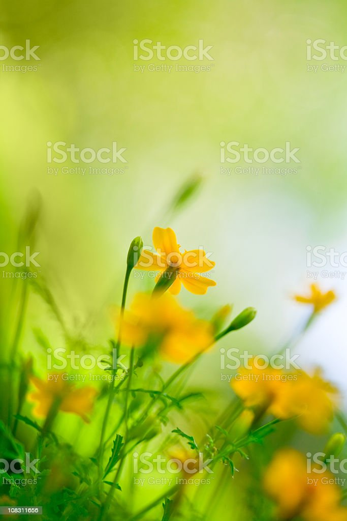 Close-up of flowers in a meadow royalty-free stock photo