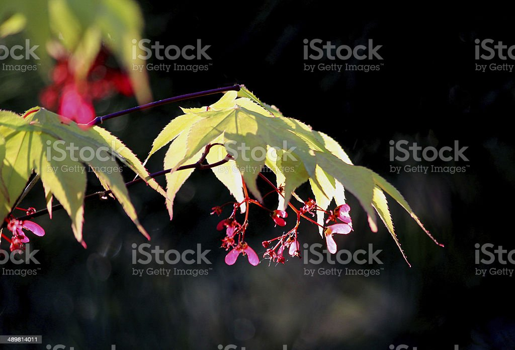 Close-up of flowers,seeds and leaves of a Japanese maple royalty-free stock photo
