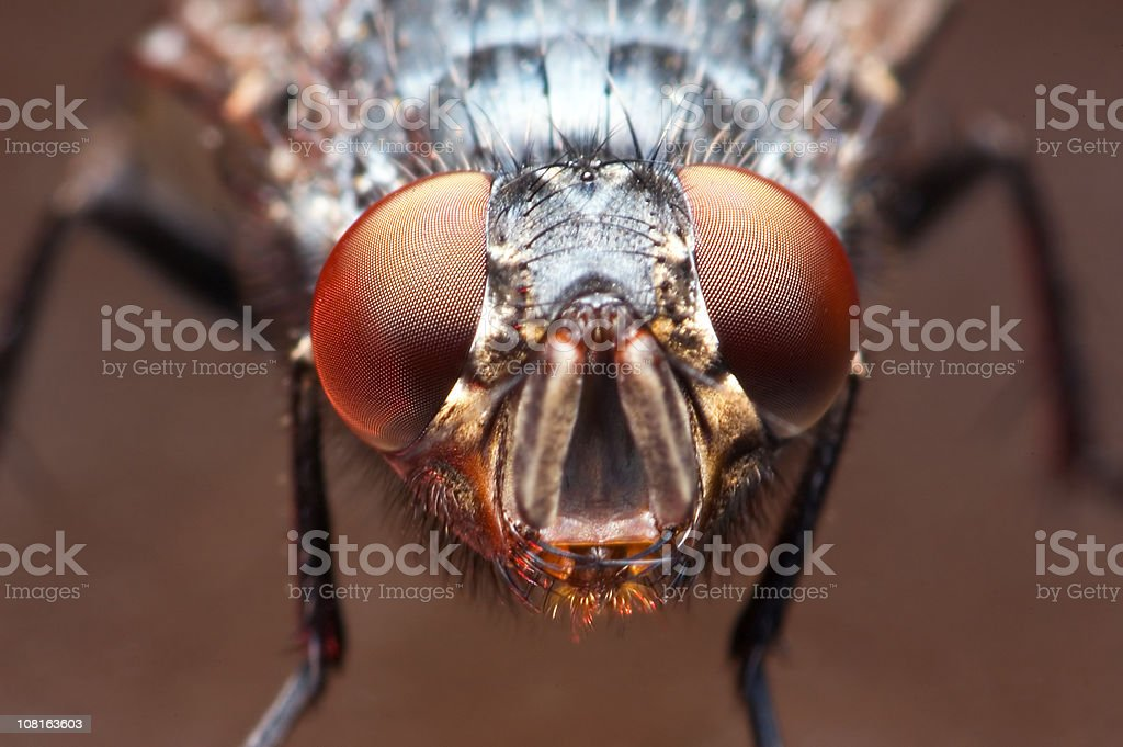 Close-up of Fly Insect royalty-free stock photo