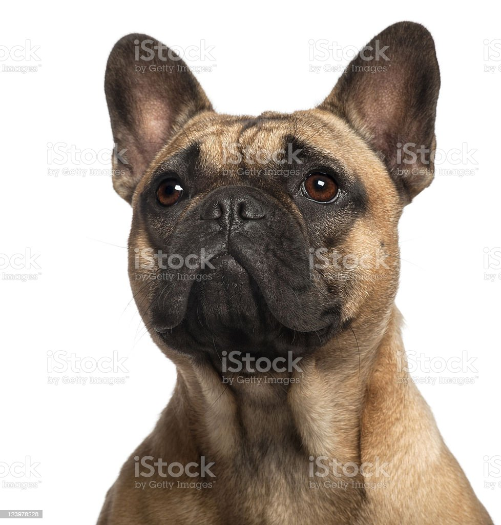 Close-up of French Bulldog, eleven months old, white background. stock photo