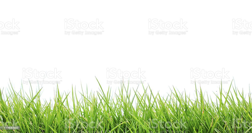 Close-up of fresh bright green grass on white background stock photo
