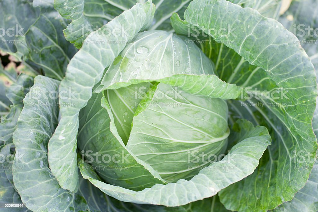 close-up of fresh cabbage in the vegetable garden stock photo