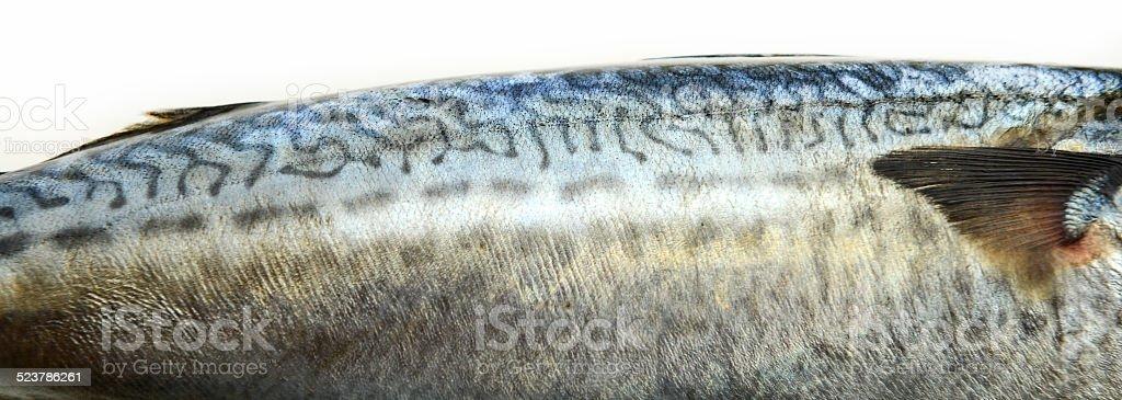 Closeup of Fresh fish Mackerel, tuna, saba stock photo
