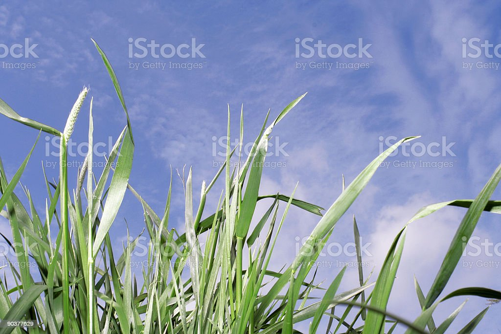Closeup of fresh grass on a blue sky royalty-free stock photo