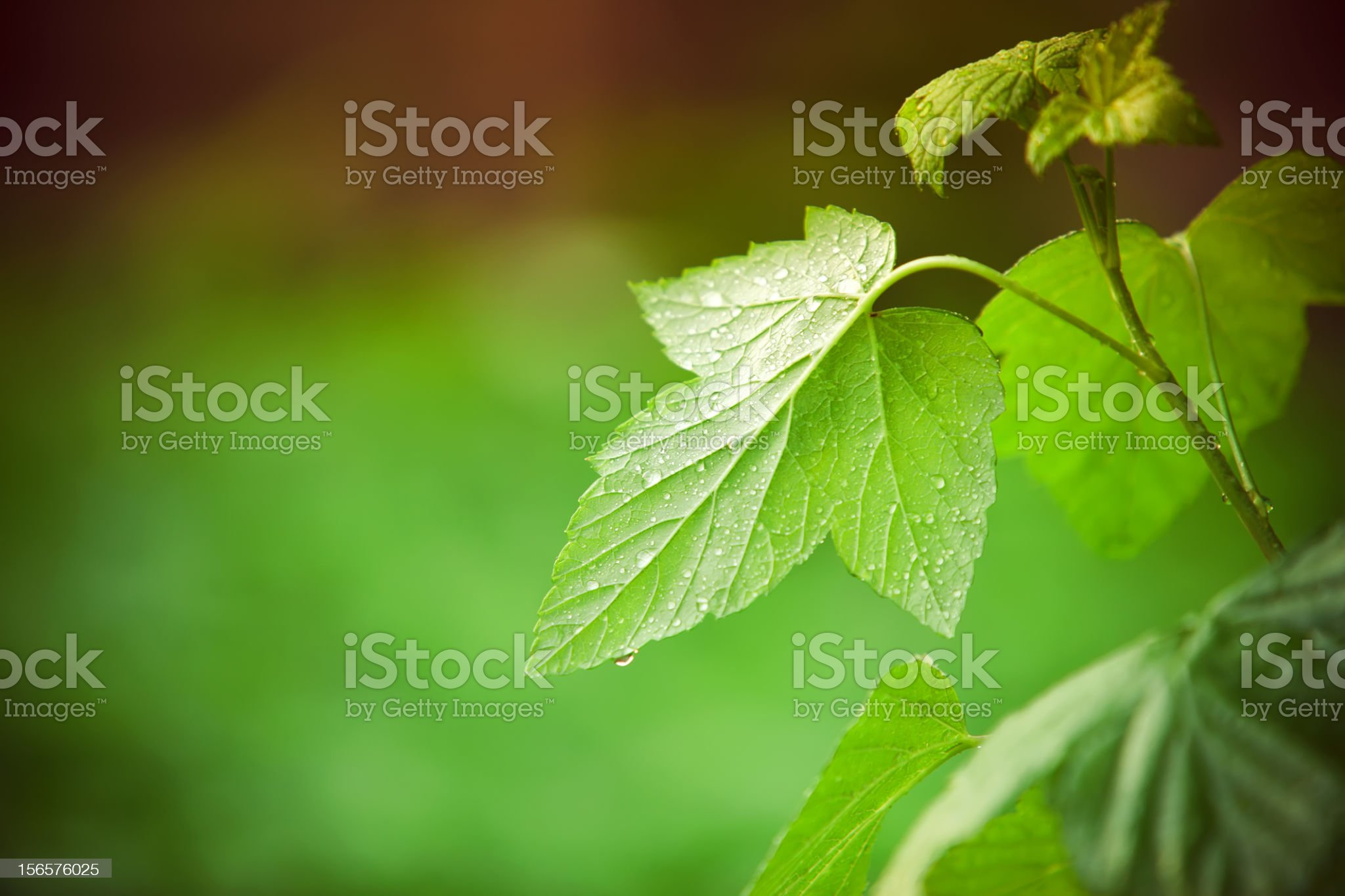 Close-up of fresh green leafs with water drops royalty-free stock photo