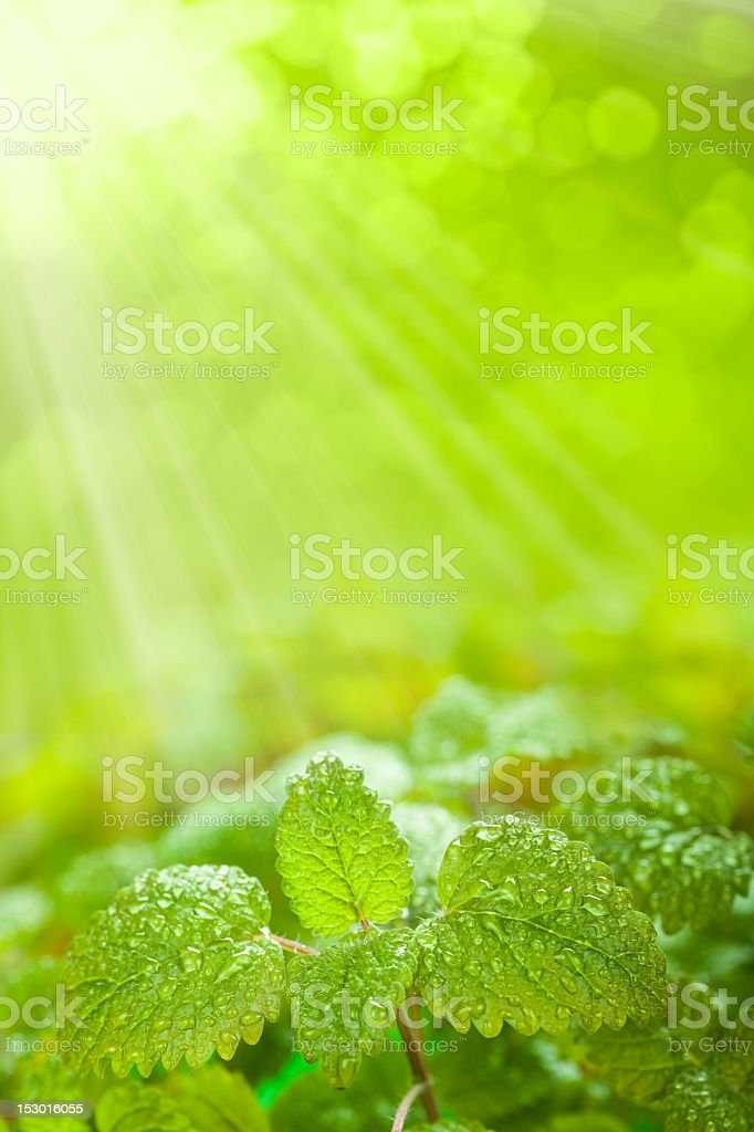 Close-up of fresh leaves over a green background royalty-free stock photo