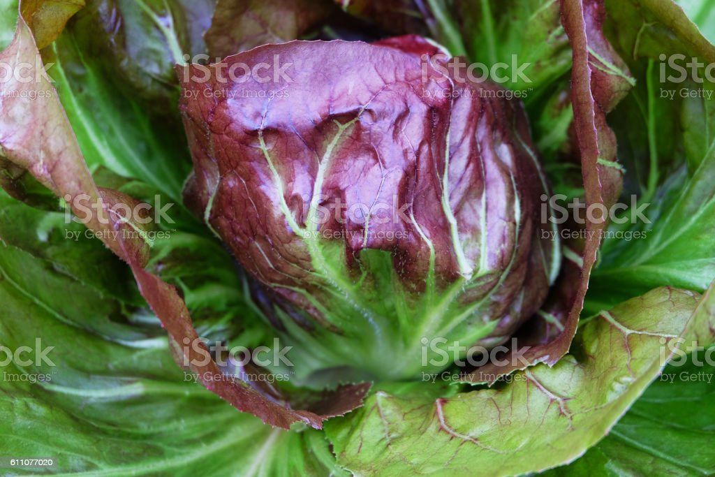 Closeup of fresh organic lettuce on field stock photo