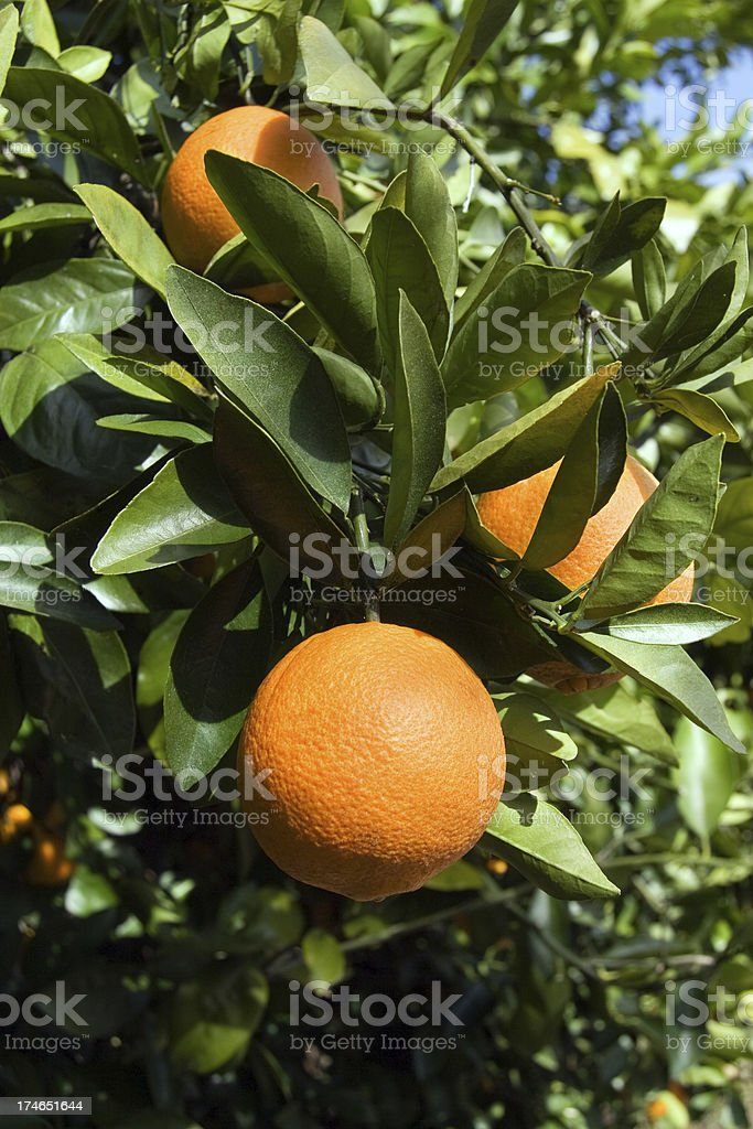 Close-up of fresh ripe orange on tree royalty-free stock photo